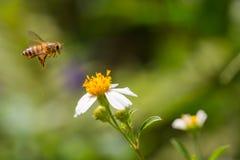 Abeja de la miel del vuelo Fotos de archivo