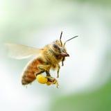 Abeja de la miel del vuelo Fotografía de archivo