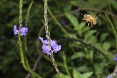 Abeja de la miel del vuelo Foto de archivo