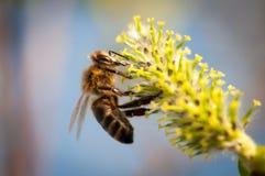 Abeja de la miel del vuelo en la flor Fotos de archivo libres de regalías