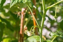Abeja de la miel del vuelo en la flor floreciente de la frambuesa Fotografía de archivo