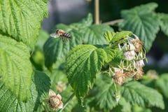 Abeja de la miel del vuelo en la flor floreciente de la frambuesa Foto de archivo libre de regalías