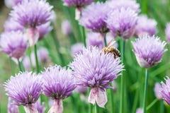 Abeja de la miel del vuelo en la flor salvaje floreciente de la cebolleta Foto de archivo