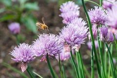 Abeja de la miel del vuelo en la flor salvaje floreciente de la cebolleta Fotos de archivo