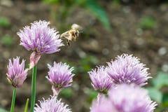 Abeja de la miel del vuelo en la flor salvaje floreciente de la cebolleta Imagen de archivo