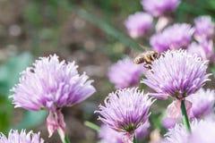 Abeja de la miel del vuelo en la flor salvaje floreciente de la cebolleta Fotos de archivo libres de regalías