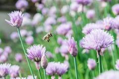 Abeja de la miel del vuelo en la flor salvaje floreciente de la cebolleta Foto de archivo libre de regalías