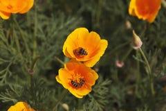 Abeja de la miel del vuelo que recoge el polen de la flor anaranjada con sunli Foto de archivo libre de regalías
