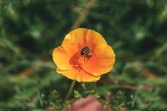 Abeja de la miel del vuelo que recoge el polen de la flor anaranjada con sunli Fotografía de archivo