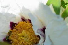 Abeja de la miel del vuelo y rockii floreciente del Paeonia Imagen de archivo