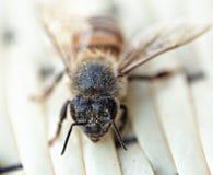 Abeja de la miel durante cierre del verano para arriba Foto de archivo