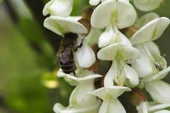 Abeja de la miel en acacia Imagenes de archivo