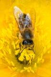 Abeja de la miel en amapola. Fotografía de archivo