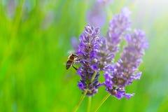 Abeja de la miel en arbusto floreciente de la lavanda Fotos de archivo