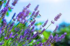 Abeja de la miel en arbusto floreciente de la lavanda Imágenes de archivo libres de regalías