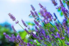 Abeja de la miel en arbusto floreciente de la lavanda Fotografía de archivo libre de regalías