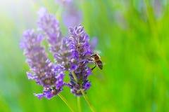 Abeja de la miel en arbusto floreciente de la lavanda Foto de archivo