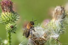 Abeja de la miel en aster azul Imagen de archivo libre de regalías