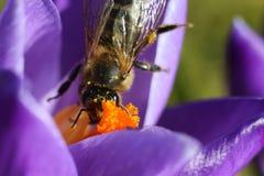 Abeja de la miel en azafrán en la primavera que recolecta el néctar Imagen de archivo libre de regalías