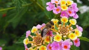 Abeja de la miel en la cámara lenta de las flores del camara del lantana almacen de metraje de vídeo