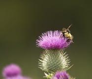Abeja de la miel en cardo Fotografía de archivo