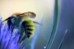 Abeja de la miel en cardo púrpura Fotos de archivo