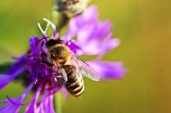 Abeja de la miel en centaurea Imagen de archivo libre de regalías