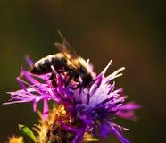 Abeja de la miel en centaurea Fotos de archivo