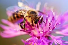 Abeja de la miel en centaurea Fotos de archivo libres de regalías