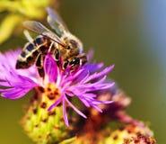 Abeja de la miel en centaurea Imagen de archivo