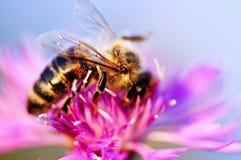 Abeja de la miel en centaurea Fotografía de archivo libre de regalías