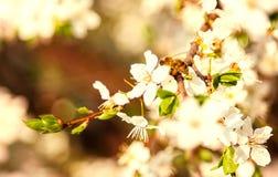 Abeja de la miel en Cherry Blossom en primavera con el foco suave, SE de Sakura Fotografía de archivo libre de regalías