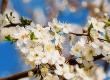 Abeja de la miel en Cherry Blossom en primavera con el foco suave, SE de Sakura Fotos de archivo libres de regalías