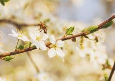 Abeja de la miel en Cherry Blossom en primavera con el foco suave, SE de Sakura Imagenes de archivo