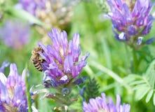 Abeja de la miel en cierre beatyful de la flor para arriba Fotografía de archivo libre de regalías