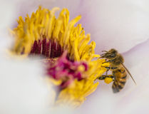 Abeja de la miel en cierre de la flor de la peonía para arriba Imagen de archivo libre de regalías