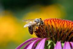 Abeja de la miel en coneflower púrpura primer Fotografía de archivo libre de regalías