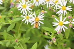 Abeja de la miel en crisantemo salvaje Imágenes de archivo libres de regalías