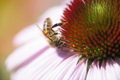 Abeja de la miel en Echinacea Imágenes de archivo libres de regalías