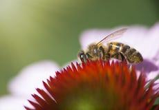 Abeja de la miel en Echinacea Fotos de archivo libres de regalías
