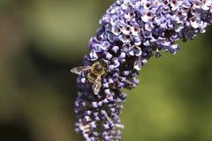 Abeja de la miel en el arbusto de mariposa púrpura, macro Imagenes de archivo