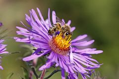 Abeja de la miel en el aster de Nueva Inglaterra Foto de archivo