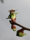 Abeja de la miel en el brote de la cereza Fotos de archivo libres de regalías