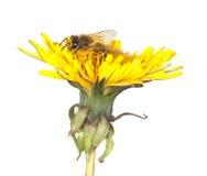 Abeja de la miel en el diente de león. Imágenes de archivo libres de regalías