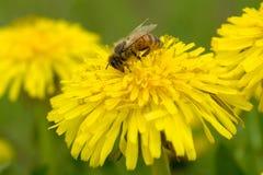 Abeja de la miel en el diente de león Imágenes de archivo libres de regalías