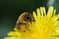 Abeja de la miel en el diente de león Foto de archivo libre de regalías