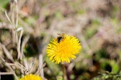 Abeja de la miel en el diente de león bajo luz del sol Imagen de archivo libre de regalías