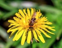 Abeja de la miel en el diente de león de la primavera Fotos de archivo libres de regalías