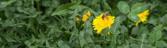 Abeja de la miel en el diente de león Abeja de la miel que poliniza en prado de la primavera Foto de archivo