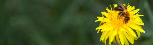 Abeja de la miel en el diente de león Abeja de la miel que poliniza en prado de la primavera Fotografía de archivo